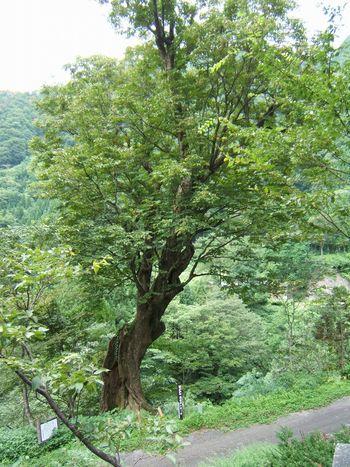 脇谷の栃の木(南砺市脇谷) 001.jpg